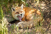 A red fox yawning in a meadow, in controlled conditions, Maine, North America