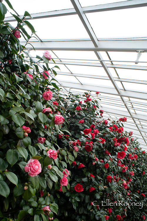 A wall of pink and red Camellia japonica blooming in February in the conservatory at Chiswick House, Chiswick, London, UK