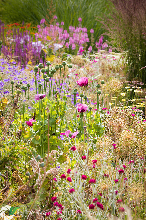 Strong summer sun shines through the seed heads of oriental poppies and alliums, in Bluebell Cottage Gardens, Cheshire - photographed in July.
