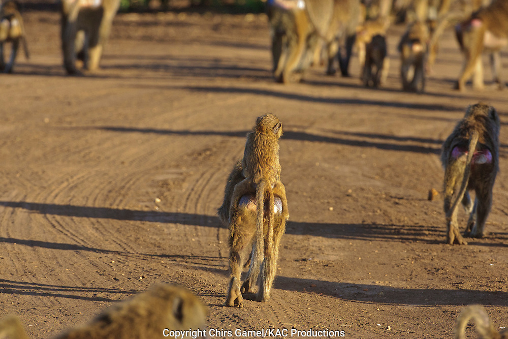 Juveinle olive baboon riding on mother's back as she walks down the road.