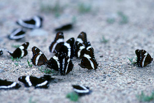 White Admiral Butterflies (Limenitis arthemis) flutter on sandy ground during the summer.
