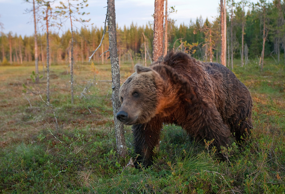 European brown bear (Ursos arctos) rubbing against tree, Kuhmo, Finland.