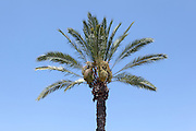 Dates on a Palm tree with blue sky background