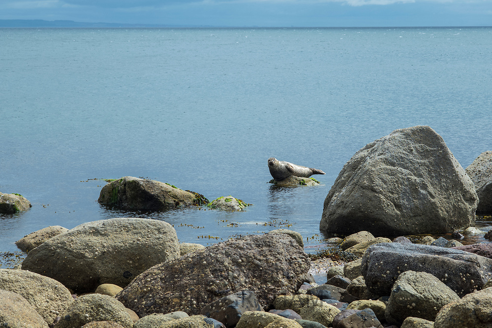 Grey seal, Halichoerus grypus, Common Seals near rock boulders at Sannox Bay in the North Atlantic Ocean by the Isle of Arran, Scotland