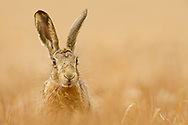 European Hare (Lepus europaeus) adult in sprayed grass meadow, dead grass, South Norfolk, UK. May