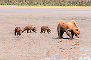A Mother Grizzly Bear With Three Cubs -- An Unusual Sight.