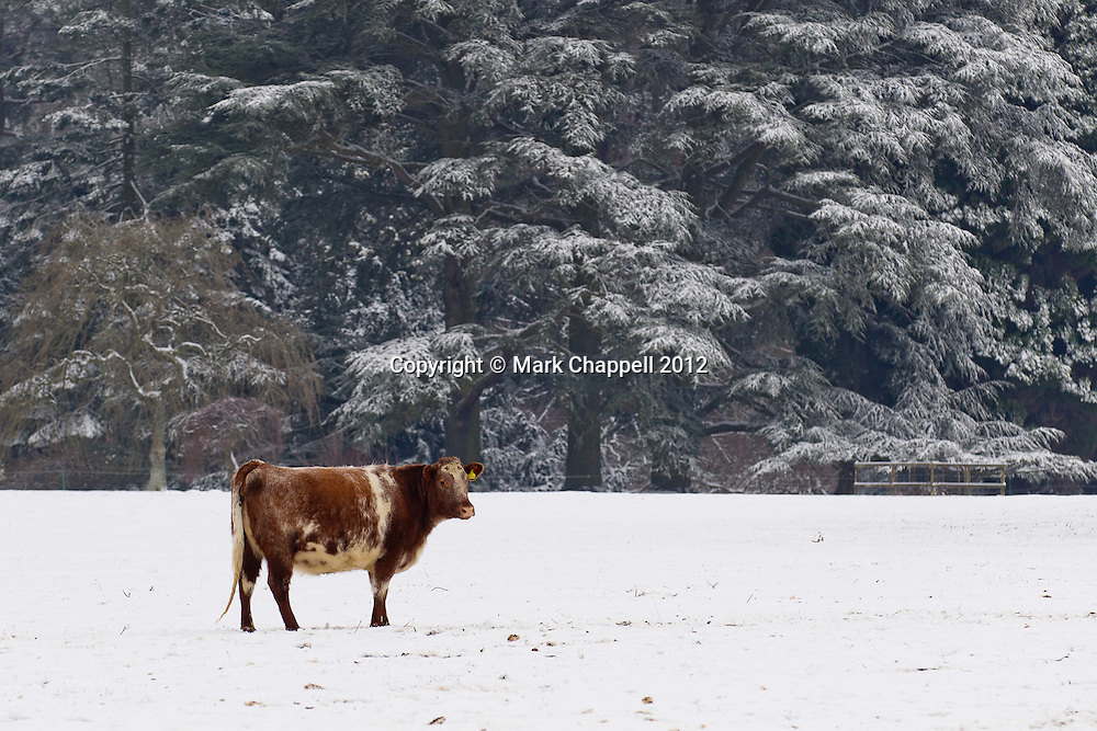 GLOUCESTERSHIRE, UNITED KINGDOM. February 10 2012. A cow stands in a snow covered frozen field in Westonbirt Arboretum. The UK is shivering once again as sub-zero temperatures persist.<br /> Photo Credit: Mark Chappell<br /> &copy; Mark Chappell 2012. All Rights Reserved. See instructions.