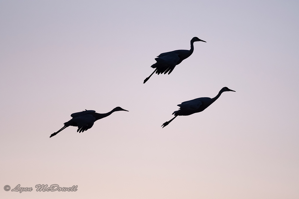 Love how these Sandhill Crane look suspended in air as they land in the evening light.