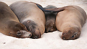 These four Galapagos Seals were lying close together napping when the right hand one raised its flipper to reach across the small one to the largest one in the middle.  They looked very comfortable.