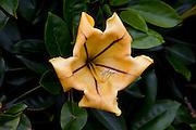 Cup of Gold flower, Kula Botanical Garden, Upcountry, Maui, Hawaii