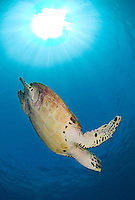 Diving Hawksbill Turtle and Sunburst