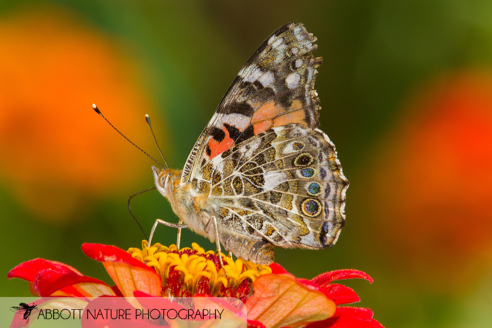 Painted Lady - Hodges#4435 (Vanessa cardui)<br /> United States: Wisconsin: Columbia Co.<br /> Wyocena<br /> 22-Sep-2017<br /> J.C. Abbott #2993
