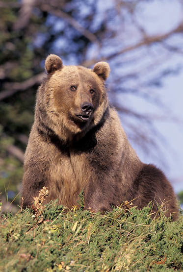 Grizzly Bear, (Ursus horriblis) In western Rockies. Montana.  Captive Animal.