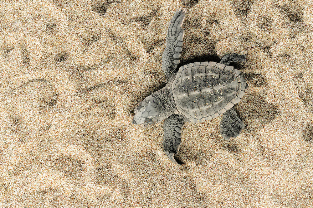 In the first rays of the rising morning sun the last emerging hatchlings of the Loggerhead Sea Turtle (Caretta caretta) have to rush over the beach to reach the ocean before being eaten by a ghost crab or becoming overheated.