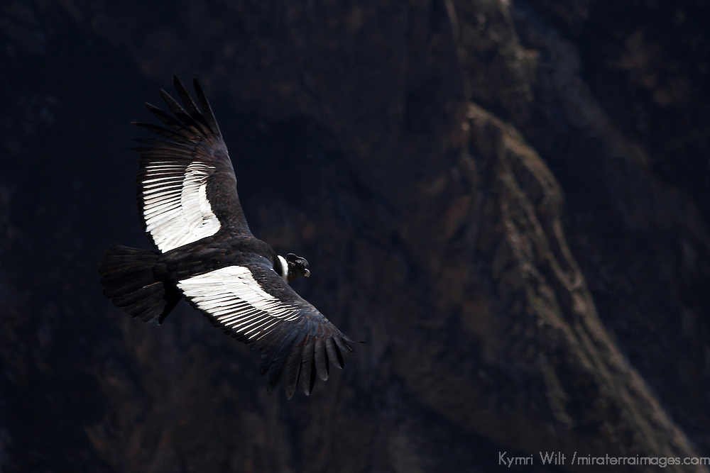 South America, Peru, Colca Canyon. Mature Male Andean Condor.