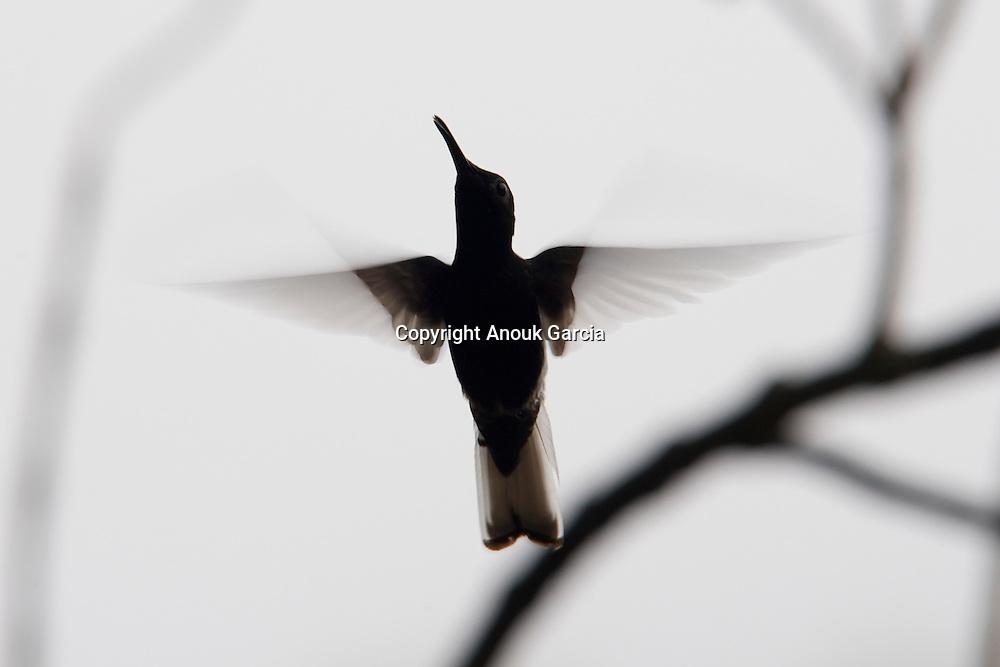 colibri///hummingbird