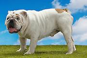 Bulldog standing side view