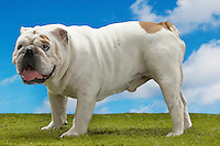 Bulldog standing side view
