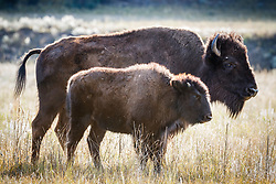Backlit bison cow and calf, Vermejo Park Ranch, New Mexico, USA.