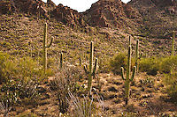 Saguaro National Park, Tucson. desert landscape with Saguaro cactus