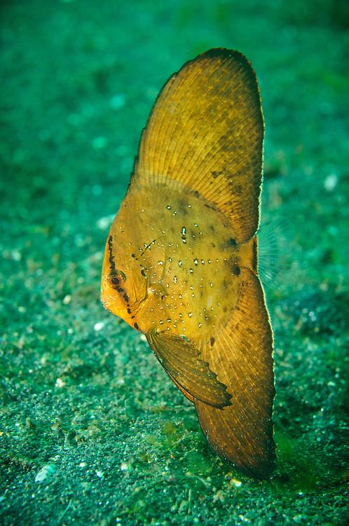 Juvenile circular batfish, Lembeh Strait, Sulawesi, Indonesia.