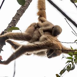 """""""Muriqui-do-norte (Brachyteles hypoxanthus) fotografado em Santa Maria de Jetibá, Espírito Santo -  Sudeste do Brasil. Bioma Mata Atlântica. Registro feito em 2016.<br /> <br /> <br /> <br /> ENGLISH: Northern muriqui photographed  in Santa Maria de Jetibá, Espírito Santo - Southeast of Brazil. Atlantic Forest Biome. Picture made in 2016."""""""