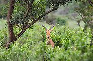 Impala antelope (Aepyceros melampus) Hluhluwe park, south Africa.