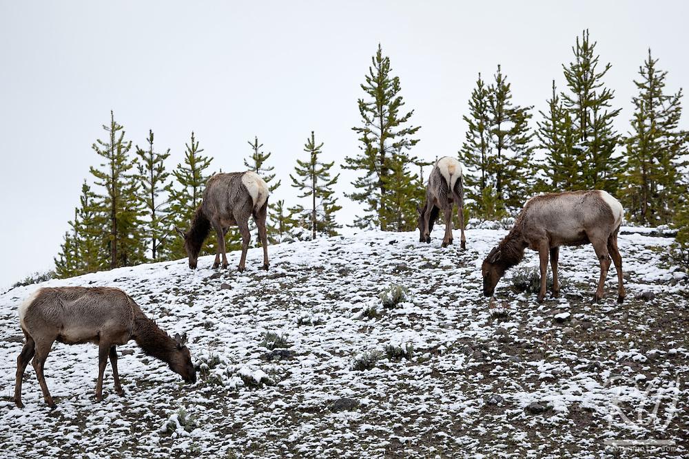 Herd of Elk Grazing in Snow, Yellowstone National Park, Wyoming