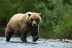 A coastal brown bear ( Ursus arctos )slowly walking through water while fishing, Katmai Peninsula, Alaska