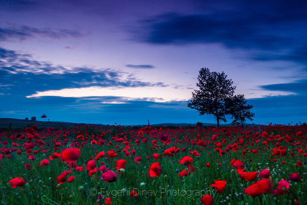 Field of poppies at dusk
