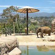 Elephants at Santa Barbara Zoo.Santa Barbara,CA.