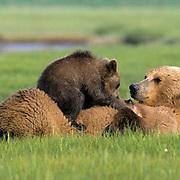Alaskan Brown Bear, (Ursus middendorffi) Mother nursing young cubs. Katmai National Park. Alaska.