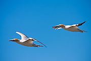 Sir Joseph Banks wrote of the Australasian Gannets as he witnessed them in flight in 1769 aboard the Endeavour.  The crew aboard Captain Cook's ship was making the first voyage to New Zealand and noted the similarities to European geese.  A pair of Australasian Gannet flying at Farewell Spit, New Zealand.