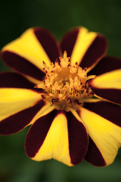 Tagetes patula 'Jolly Jester' - French marigold