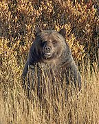 Large Male Grizzly Bear in Autumn Habitat