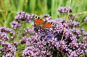 Nederland, kekerdom, 25-7-2012Een vlinder, dagpauwoog, in de Millingerwaard.Foto: Flip Franssen/Hollandse Hoogte