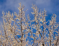 Hoare frost covered poplar branches against a bright blue sky with some wispy clouds