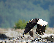 Bald Eagle on the move with his buddy in the background