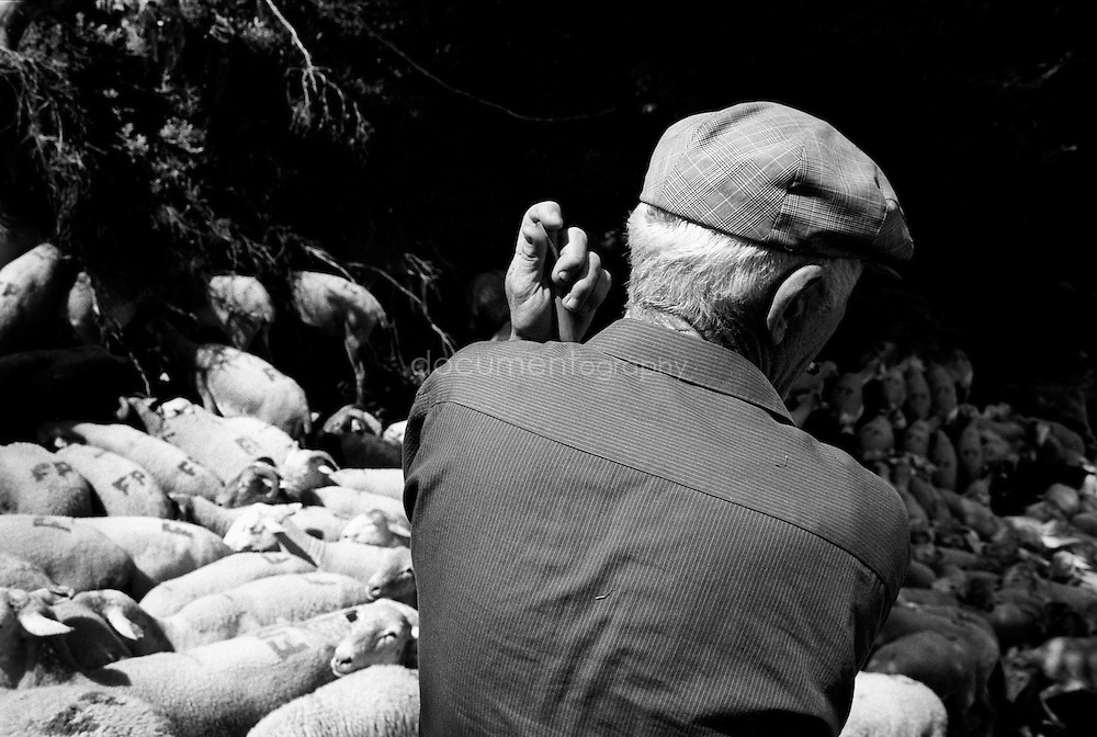 The flock of sheep and a shepperd during the summer transhumances in the valley of Bethmale in the Pyrenees, France.