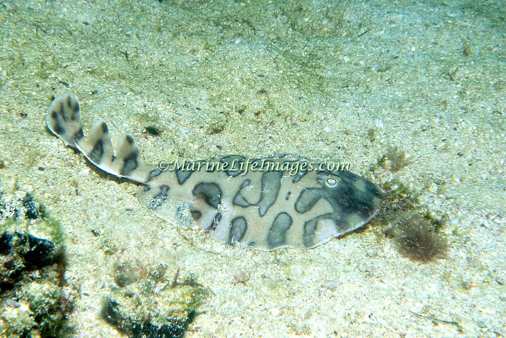 Lesser Electric Ray inhabit sand, rubble and seagrass areas, often in lagoons and bays in Tropical West Atlantic; picture taken Los Roques, Venezuela.