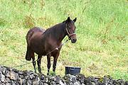 Pico is een van de vulkaaneilanden van de Azoren. Het is het op een na grootste eiland van de archipel. <br /> <br /> Pico is one of the volcanic islands of the Azores. It is the second largest island of the archipelago.<br /> <br /> Op de foto / On the photo: paard bij Pontas Negro / horse at Pontas Negro
