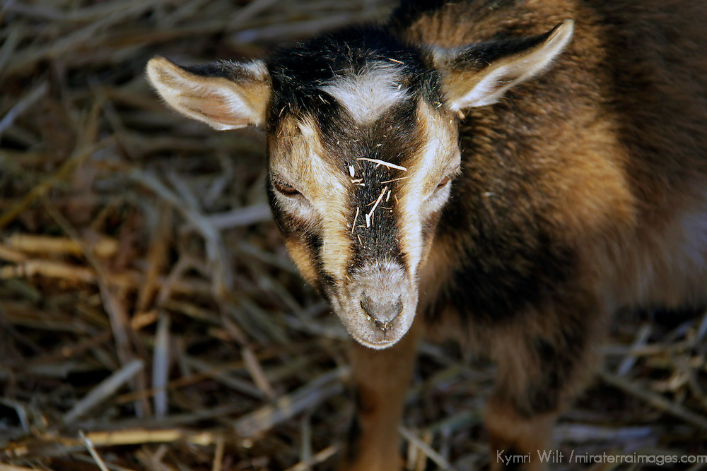 USA, California, Del Mar.  Baby goat at petting farm.