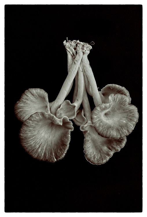 "Pleurotus cornucopiae #VI from the series: ""Pleurotus cornucopiae"" (2014/2017)."