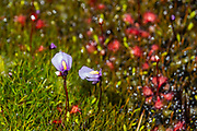 A purple flower of a bladderwort (Utricularia genus), a carnivorous plant, blooms in a bog on Key Summit Alpine Walk, along the Routeburn Track in Fiordland National Park, near Te Anau, Southland region, South Island of New Zealand. In 1990, UNESCO honored Te Wahipounamu - South West New Zealand as a World Heritage Area.
