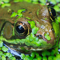 Extreme close-up portrait of a green frog (Rana clamitans) covered in duckweed, Huntley Meadows Park, Alexandria, Virginia.