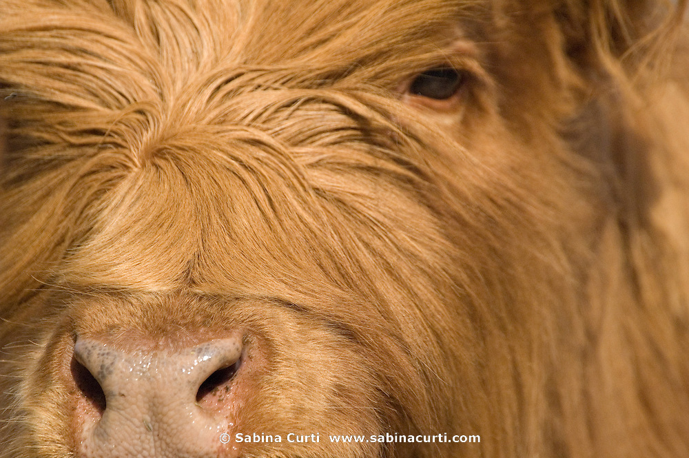 Scottish Highland cattle on Moon in the Pond Farm, Sheffield, MA