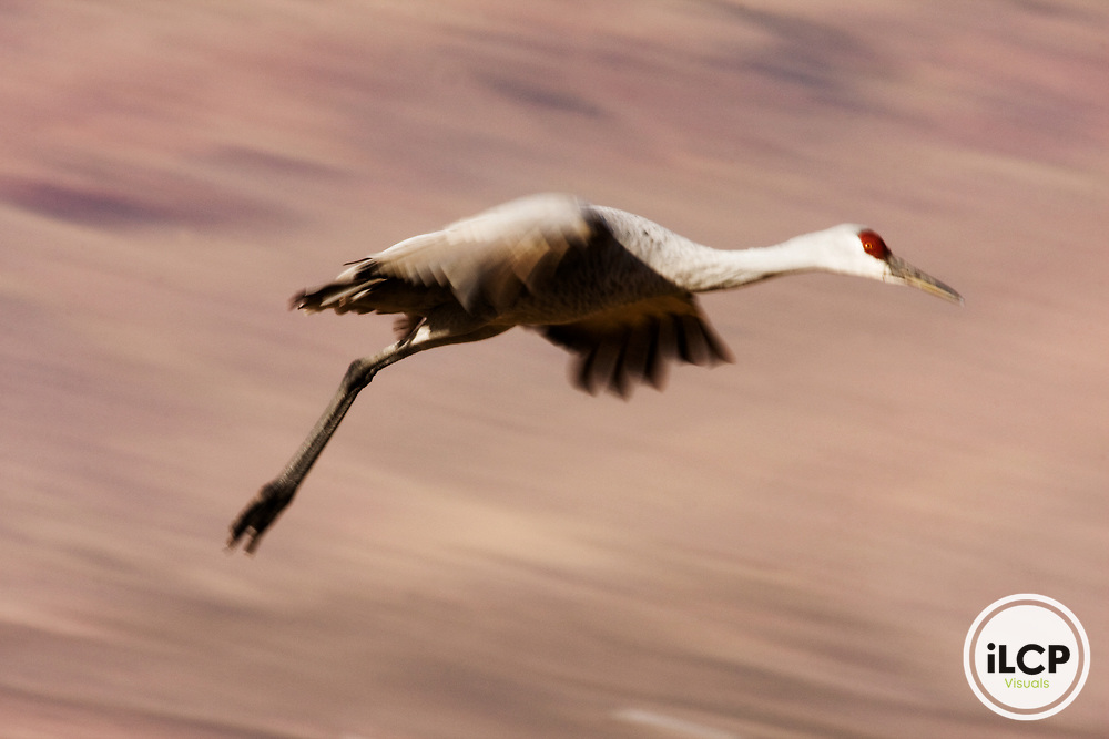 Sandhill Crane (Grus canadensis) landing, Bosque del Apache National Wildlife Refuge, New Mexico