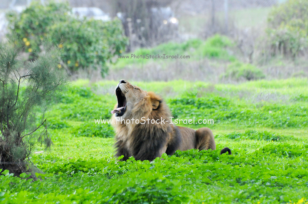 roaring male african lion