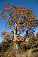 Ancient Oak in Savernake Forest, Marlborough, Wiltshire. Pedunculate or English Oak Quercus robur Fagaceae Height to 36m. Spreading, deciduous tree with dense crown. Bark Grey, thick and fissured with age. Branches Dead branches emerge from canopy of ancient trees. Buds hairless. Leaves Deeply lobed with 2 auricles at base; on very short stalks (5mm or less). Reproductive parts Flowers are catkins. Acorns, in groups of 1–3, with long stalks and scaly cups. Status Widespread; prefers heavier clay soils to Sessile Oak.