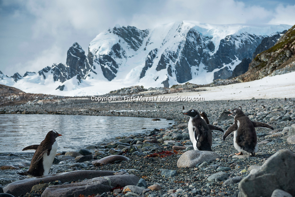 Antarctica, February 2016. At Cuverville Island we explore the lower slopes, enjoying the rockery, the scattered whalebones all over the area and the Skuas feeding on the numerous dead penguin chicks. Afterwards challenging hike to the top of the snow-covered island for an exceptional  360º view over the Gerlache Strait, Errera channel, Antarctica mainland (Arctowsky Peninsula), Ronge, Brabant and Anvers Islands. Dutch Tallship, Bark Europa, explores Antarctica during a 25 day sailing expedition. Photo by Frits Meyst / MeystPhoto.com